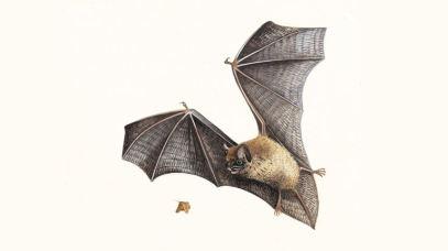 pipistrelle-bat_1200x675